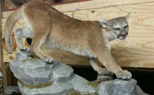 scott gunn cougar