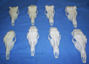 REPRODUCTION SKULLS