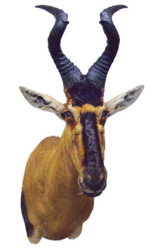 Hartebeest, G-1602-66, Right Turn, Upright