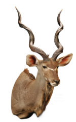 Kudu, Mount by Tim Brown, G-1682, Upright, Right Turn