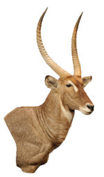 Waterbuck mount by Tim Brown, G-1951-66WP, Upright, Wall Pedestal