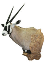 Gemsbok Mount By Tracy Jacobsen, G-1541-66WP